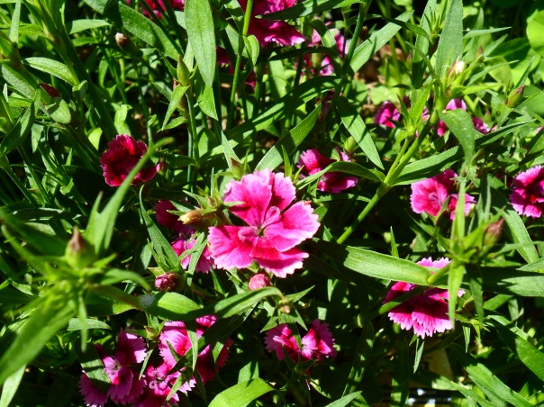 pink dianthus blooming