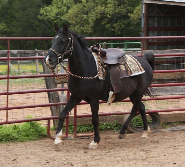 Doug CVHR rescue horse
