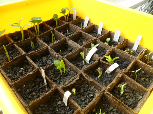 seedlings for companion patch garden