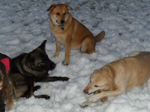 german shepherd yellow lab mixes