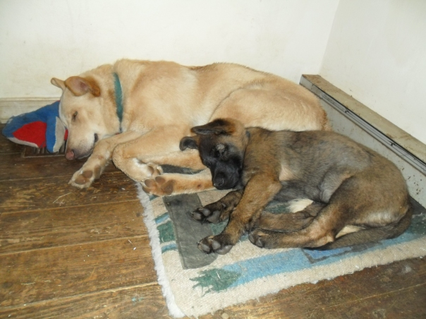 german shepherd lab mixes
